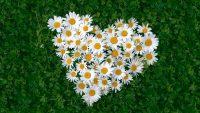 «Ромашки для любимых»